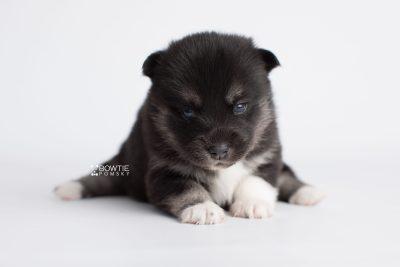 puppy183 week3 BowTiePomsky.com Bowtie Pomsky Puppy For Sale Husky Pomeranian Mini Dog Spokane WA Breeder Blue Eyes Pomskies Celebrity Puppy web6