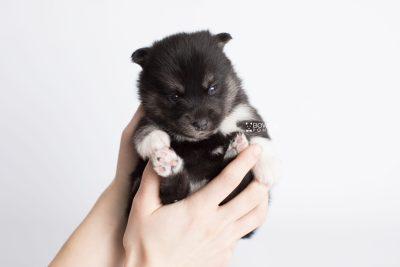 puppy183 week3 BowTiePomsky.com Bowtie Pomsky Puppy For Sale Husky Pomeranian Mini Dog Spokane WA Breeder Blue Eyes Pomskies Celebrity Puppy web7