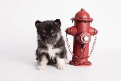puppy183 week5 BowTiePomsky.com Bowtie Pomsky Puppy For Sale Husky Pomeranian Mini Dog Spokane WA Breeder Blue Eyes Pomskies Celebrity Puppy web2