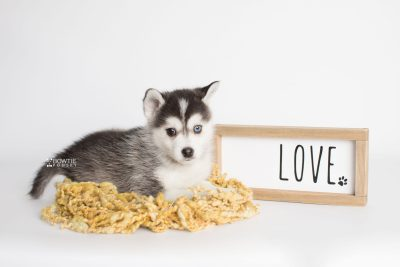 puppy181 week7 BowTiePomsky.com Bowtie Pomsky Puppy For Sale Husky Pomeranian Mini Dog Spokane WA Breeder Blue Eyes Pomskies Celebrity Puppy web1
