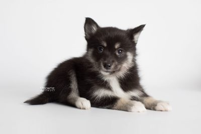 puppy182 week7 BowTiePomsky.com Bowtie Pomsky Puppy For Sale Husky Pomeranian Mini Dog Spokane WA Breeder Blue Eyes Pomskies Celebrity Puppy web3