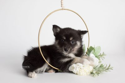 puppy182 week7 BowTiePomsky.com Bowtie Pomsky Puppy For Sale Husky Pomeranian Mini Dog Spokane WA Breeder Blue Eyes Pomskies Celebrity Puppy web6