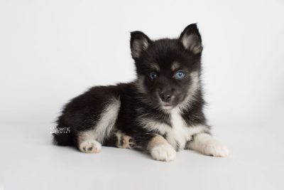 puppy183 week7 BowTiePomsky.com Bowtie Pomsky Puppy For Sale Husky Pomeranian Mini Dog Spokane WA Breeder Blue Eyes Pomskies Celebrity Puppy web3