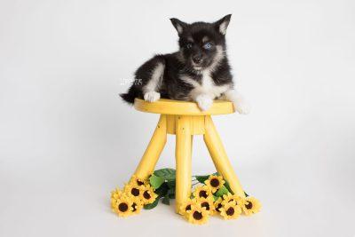 puppy183 week7 BowTiePomsky.com Bowtie Pomsky Puppy For Sale Husky Pomeranian Mini Dog Spokane WA Breeder Blue Eyes Pomskies Celebrity Puppy web4