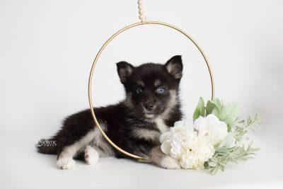 puppy183 week7 BowTiePomsky.com Bowtie Pomsky Puppy For Sale Husky Pomeranian Mini Dog Spokane WA Breeder Blue Eyes Pomskies Celebrity Puppy web6