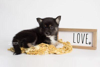 puppy185 week7 BowTiePomsky.com Bowtie Pomsky Puppy For Sale Husky Pomeranian Mini Dog Spokane WA Breeder Blue Eyes Pomskies Celebrity Puppy web1