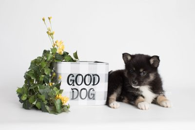 puppy185 week7 BowTiePomsky.com Bowtie Pomsky Puppy For Sale Husky Pomeranian Mini Dog Spokane WA Breeder Blue Eyes Pomskies Celebrity Puppy web2