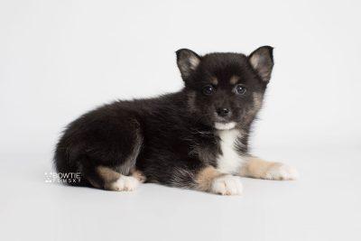 puppy185 week7 BowTiePomsky.com Bowtie Pomsky Puppy For Sale Husky Pomeranian Mini Dog Spokane WA Breeder Blue Eyes Pomskies Celebrity Puppy web6