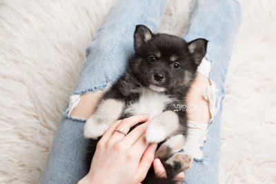 puppy185 week7 BowTiePomsky.com Bowtie Pomsky Puppy For Sale Husky Pomeranian Mini Dog Spokane WA Breeder Blue Eyes Pomskies Celebrity Puppy web7