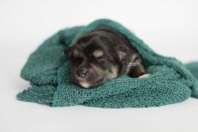 puppy187 week1 BowTiePomsky.com Bowtie Pomsky Puppy For Sale Husky Pomeranian Mini Dog Spokane WA Breeder Blue Eyes Pomskies Celebrity Puppy web4