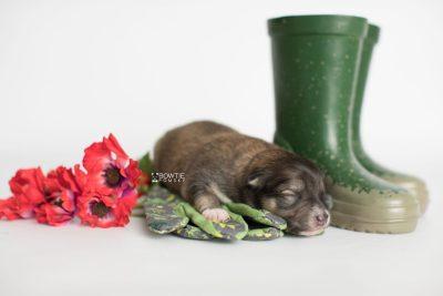 puppy189 week1 BowTiePomsky.com Bowtie Pomsky Puppy For Sale Husky Pomeranian Mini Dog Spokane WA Breeder Blue Eyes Pomskies Celebrity Puppy web3