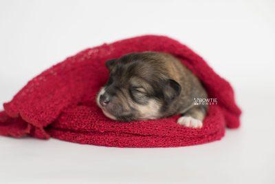 puppy189 week1 BowTiePomsky.com Bowtie Pomsky Puppy For Sale Husky Pomeranian Mini Dog Spokane WA Breeder Blue Eyes Pomskies Celebrity Puppy web4