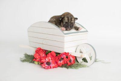 puppy190 week1 BowTiePomsky.com Bowtie Pomsky Puppy For Sale Husky Pomeranian Mini Dog Spokane WA Breeder Blue Eyes Pomskies Celebrity Puppy web1