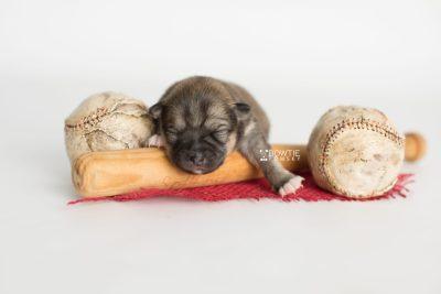 puppy190 week1 BowTiePomsky.com Bowtie Pomsky Puppy For Sale Husky Pomeranian Mini Dog Spokane WA Breeder Blue Eyes Pomskies Celebrity Puppy web5