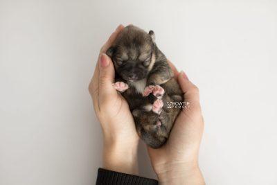 puppy190 week1 BowTiePomsky.com Bowtie Pomsky Puppy For Sale Husky Pomeranian Mini Dog Spokane WA Breeder Blue Eyes Pomskies Celebrity Puppy web7