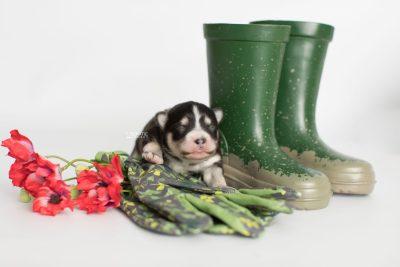 puppy191 week1 BowTiePomsky.com Bowtie Pomsky Puppy For Sale Husky Pomeranian Mini Dog Spokane WA Breeder Blue Eyes Pomskies Celebrity Puppy web2