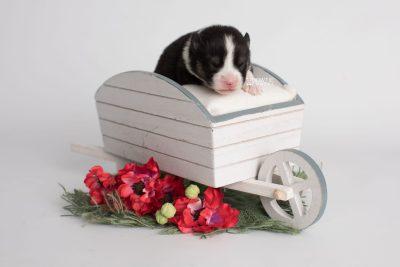 puppy193 week1 BowTiePomsky.com Bowtie Pomsky Puppy For Sale Husky Pomeranian Mini Dog Spokane WA Breeder Blue Eyes Pomskies Celebrity Puppy web1