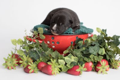 puppy195 week1 BowTiePomsky.com Bowtie Pomsky Puppy For Sale Husky Pomeranian Mini Dog Spokane WA Breeder Blue Eyes Pomskies Celebrity Puppy web4