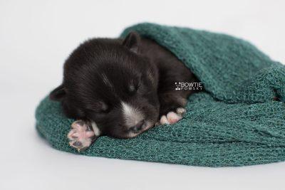 puppy195 week1 BowTiePomsky.com Bowtie Pomsky Puppy For Sale Husky Pomeranian Mini Dog Spokane WA Breeder Blue Eyes Pomskies Celebrity Puppy web6
