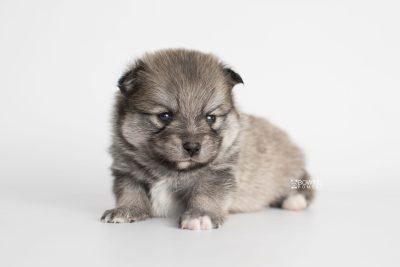 puppy186 week3 BowTiePomsky.com Bowtie Pomsky Puppy For Sale Husky Pomeranian Mini Dog Spokane WA Breeder Blue Eyes Pomskies Celebrity Puppy web6
