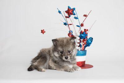 puppy186 week5 BowTiePomsky.com Bowtie Pomsky Puppy For Sale Husky Pomeranian Mini Dog Spokane WA Breeder Blue Eyes Pomskies Celebrity Puppy web3