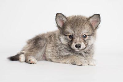puppy186 week7 BowTiePomsky.com Bowtie Pomsky Puppy For Sale Husky Pomeranian Mini Dog Spokane WA Breeder Blue Eyes Pomskies Celebrity Puppy web6