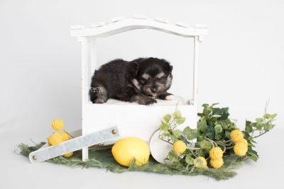 puppy187 week3 BowTiePomsky.com Bowtie Pomsky Puppy For Sale Husky Pomeranian Mini Dog Spokane WA Breeder Blue Eyes Pomskies Celebrity Puppy web1