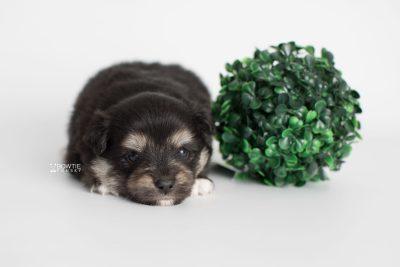 puppy187 week3 BowTiePomsky.com Bowtie Pomsky Puppy For Sale Husky Pomeranian Mini Dog Spokane WA Breeder Blue Eyes Pomskies Celebrity Puppy web2