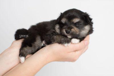 puppy187 week3 BowTiePomsky.com Bowtie Pomsky Puppy For Sale Husky Pomeranian Mini Dog Spokane WA Breeder Blue Eyes Pomskies Celebrity Puppy web7