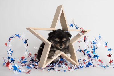 puppy187 week5 BowTiePomsky.com Bowtie Pomsky Puppy For Sale Husky Pomeranian Mini Dog Spokane WA Breeder Blue Eyes Pomskies Celebrity Puppy web1