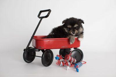 puppy187 week5 BowTiePomsky.com Bowtie Pomsky Puppy For Sale Husky Pomeranian Mini Dog Spokane WA Breeder Blue Eyes Pomskies Celebrity Puppy web4