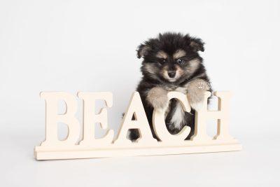 puppy187 week7 BowTiePomsky.com Bowtie Pomsky Puppy For Sale Husky Pomeranian Mini Dog Spokane WA Breeder Blue Eyes Pomskies Celebrity Puppy web3