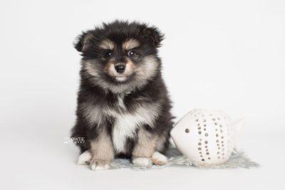 puppy187 week7 BowTiePomsky.com Bowtie Pomsky Puppy For Sale Husky Pomeranian Mini Dog Spokane WA Breeder Blue Eyes Pomskies Celebrity Puppy web4