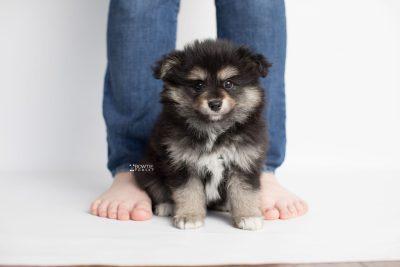 puppy187 week7 BowTiePomsky.com Bowtie Pomsky Puppy For Sale Husky Pomeranian Mini Dog Spokane WA Breeder Blue Eyes Pomskies Celebrity Puppy web8