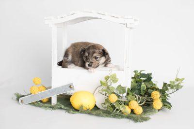 puppy189 week3 BowTiePomsky.com Bowtie Pomsky Puppy For Sale Husky Pomeranian Mini Dog Spokane WA Breeder Blue Eyes Pomskies Celebrity Puppy web1
