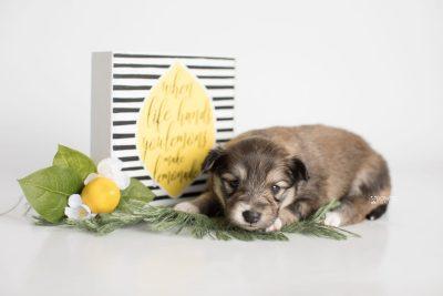puppy189 week3 BowTiePomsky.com Bowtie Pomsky Puppy For Sale Husky Pomeranian Mini Dog Spokane WA Breeder Blue Eyes Pomskies Celebrity Puppy web4