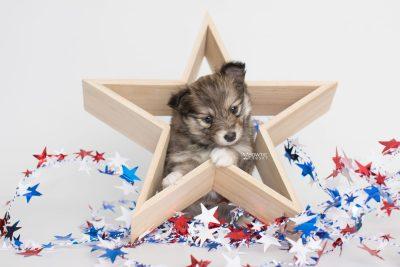puppy189 week5 BowTiePomsky.com Bowtie Pomsky Puppy For Sale Husky Pomeranian Mini Dog Spokane WA Breeder Blue Eyes Pomskies Celebrity Puppy web2