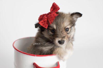 puppy189 week5 BowTiePomsky.com Bowtie Pomsky Puppy For Sale Husky Pomeranian Mini Dog Spokane WA Breeder Blue Eyes Pomskies Celebrity Puppy web7
