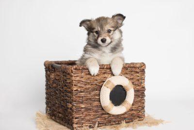 puppy189 week7 BowTiePomsky.com Bowtie Pomsky Puppy For Sale Husky Pomeranian Mini Dog Spokane WA Breeder Blue Eyes Pomskies Celebrity Puppy web2