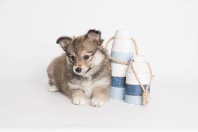 puppy189 week7 BowTiePomsky.com Bowtie Pomsky Puppy For Sale Husky Pomeranian Mini Dog Spokane WA Breeder Blue Eyes Pomskies Celebrity Puppy web3