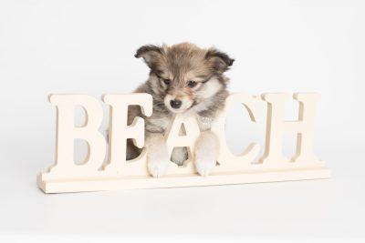puppy189 week7 BowTiePomsky.com Bowtie Pomsky Puppy For Sale Husky Pomeranian Mini Dog Spokane WA Breeder Blue Eyes Pomskies Celebrity Puppy web4