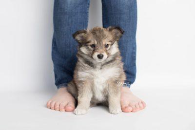 puppy189 week7 BowTiePomsky.com Bowtie Pomsky Puppy For Sale Husky Pomeranian Mini Dog Spokane WA Breeder Blue Eyes Pomskies Celebrity Puppy web7