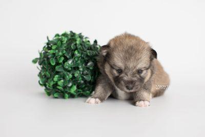 puppy190 week3 BowTiePomsky.com Bowtie Pomsky Puppy For Sale Husky Pomeranian Mini Dog Spokane WA Breeder Blue Eyes Pomskies Celebrity Puppy web2