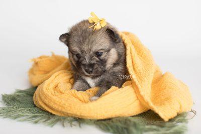 puppy190 week3 BowTiePomsky.com Bowtie Pomsky Puppy For Sale Husky Pomeranian Mini Dog Spokane WA Breeder Blue Eyes Pomskies Celebrity Puppy web7