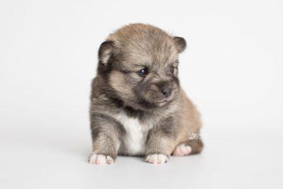 puppy190 week3 BowTiePomsky.com Bowtie Pomsky Puppy For Sale Husky Pomeranian Mini Dog Spokane WA Breeder Blue Eyes Pomskies Celebrity Puppy web8