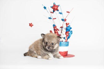puppy190 week5 BowTiePomsky.com Bowtie Pomsky Puppy For Sale Husky Pomeranian Mini Dog Spokane WA Breeder Blue Eyes Pomskies Celebrity Puppy web2