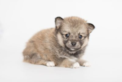 puppy190 week5 BowTiePomsky.com Bowtie Pomsky Puppy For Sale Husky Pomeranian Mini Dog Spokane WA Breeder Blue Eyes Pomskies Celebrity Puppy web4