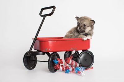 puppy190 week5 BowTiePomsky.com Bowtie Pomsky Puppy For Sale Husky Pomeranian Mini Dog Spokane WA Breeder Blue Eyes Pomskies Celebrity Puppy web5