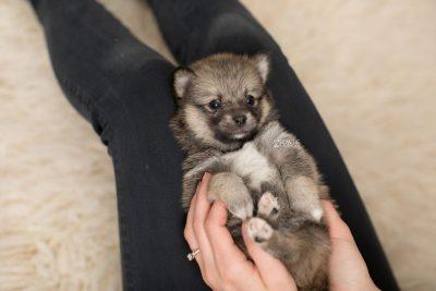 puppy190 week5 BowTiePomsky.com Bowtie Pomsky Puppy For Sale Husky Pomeranian Mini Dog Spokane WA Breeder Blue Eyes Pomskies Celebrity Puppy web7
