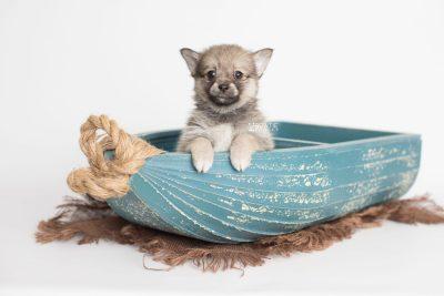puppy190 week7 BowTiePomsky.com Bowtie Pomsky Puppy For Sale Husky Pomeranian Mini Dog Spokane WA Breeder Blue Eyes Pomskies Celebrity Puppy web1